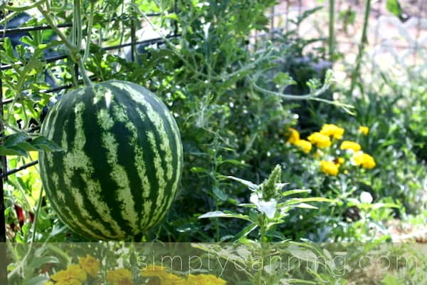 Beautiful watermelon growing from a vine in the garden.