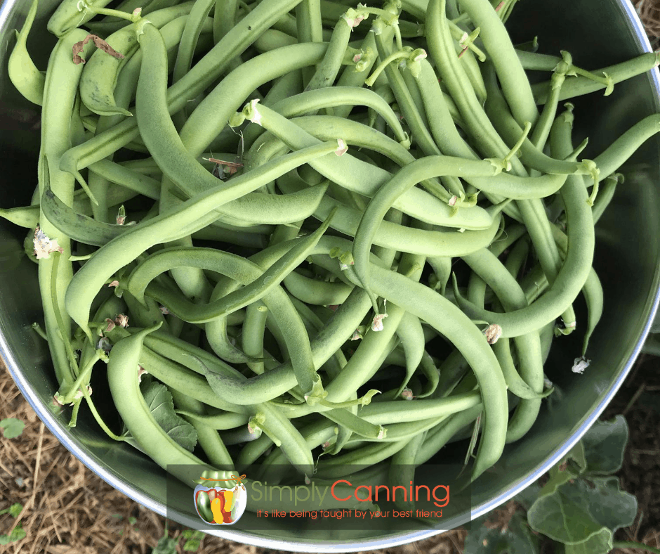 Bowl of fresh green beans from the garden.
