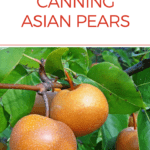 Canning asian pears pin