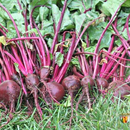 A big pile of freshly picked beets with their tops.