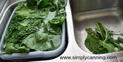 rinsing and sorting chard off in the sink