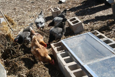 Hens pecking around the cold frame.