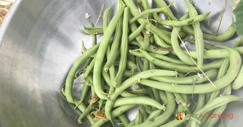 A bowl of freshly picked green beans in the garden.