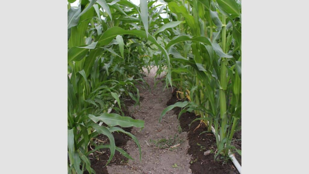 Tall corn stalks with drip irrigation watering them from the ground.