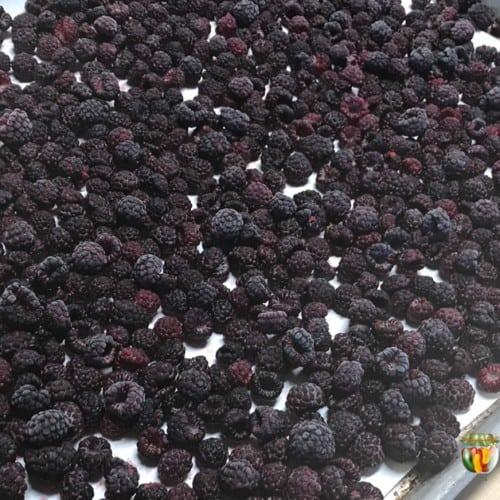 Fresh black raspberries layered over a freezer paper lined cookie sheet.