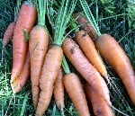 fresh carrots