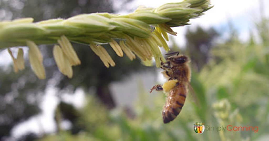 A honeybee pollinating a plant in the garden.