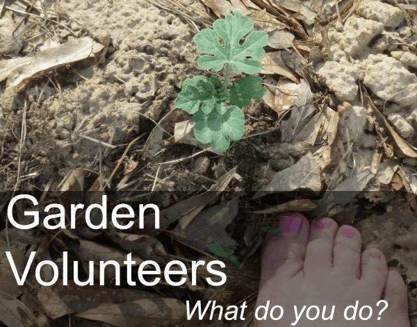 garden volunteer plants