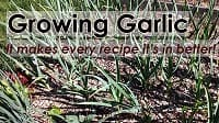 growing garlic200