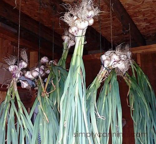 Garlic bunched and hanging together with heads facing up to cure.