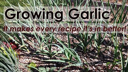 Rows of garlic growing in the garden.