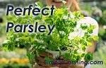 growing parsley150