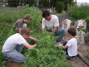 growing peas harvesting