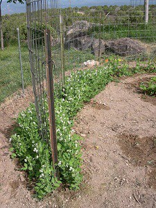 growing peas trellis