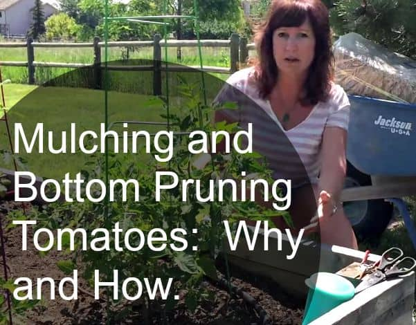 growing tomatoes pruning