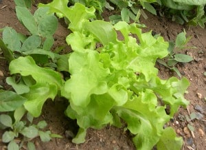 how to grow lettuce plants