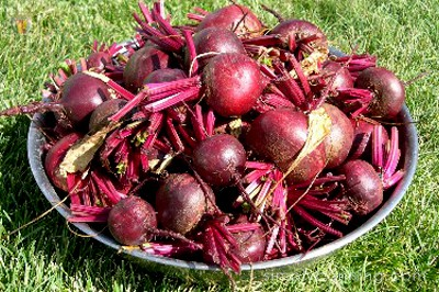 A bowl of freshly picked red beets of various sizes.