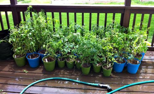 starting tomatoes hardening off