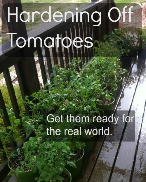 starting tomatoes hardening