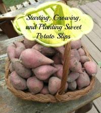 sweet potato slips growing200