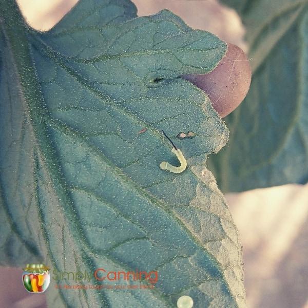 tomato hornworm baby