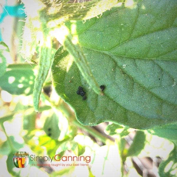tomato hornworm poop