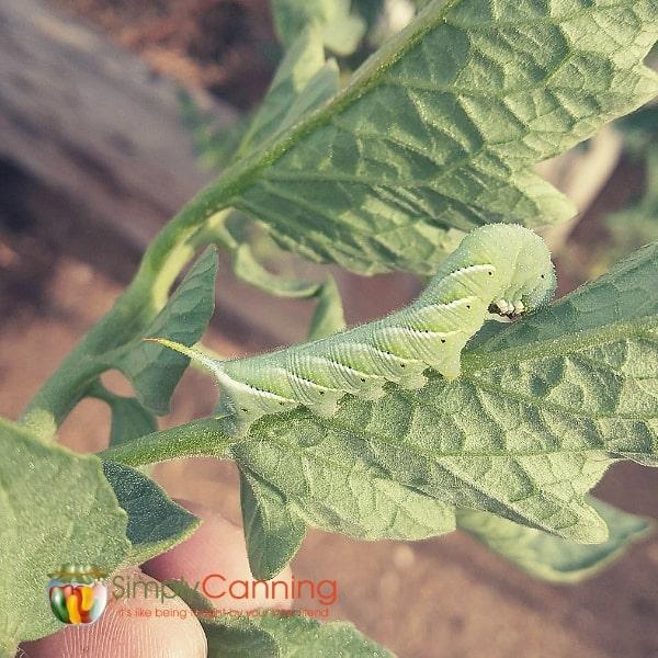tomato hornworm2